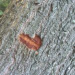 T pic - 134 - bark damage